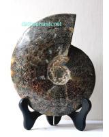 Ốc anh vũ hóa thạch khổng lồ OHT21